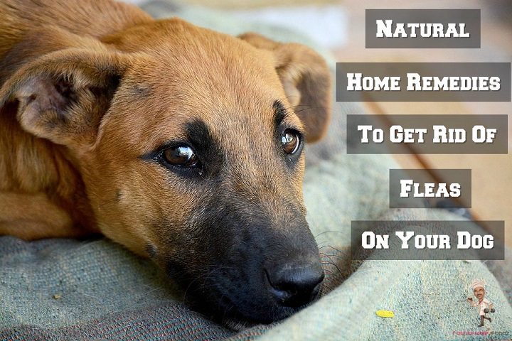 Home Remedies to Get Rid of Fleas on your Dog