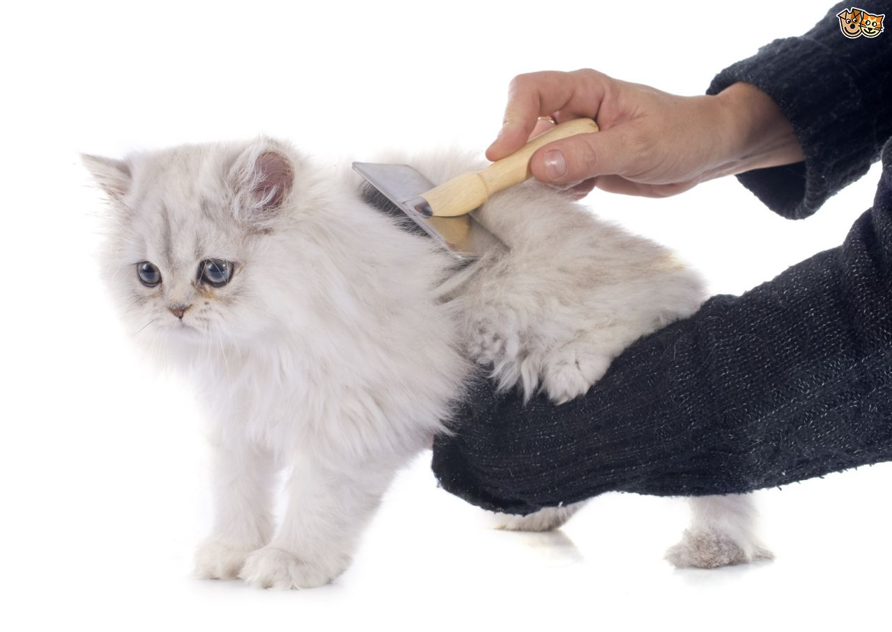 Persian Cats: Complete Pet Breed Information for Indians